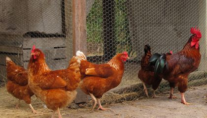 2 traders bag 8 months imprisonment each for stealing a chicken