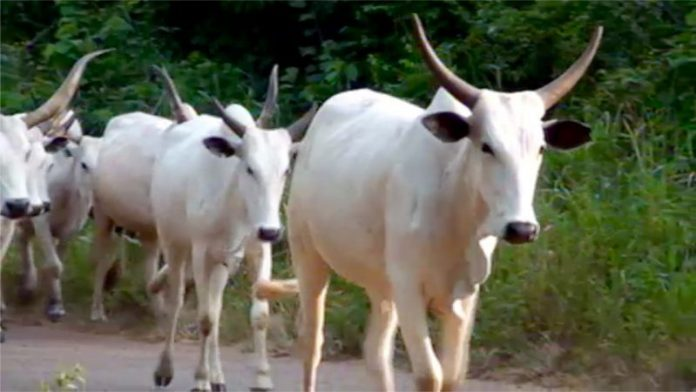 Driver in court for recklessly killing 4 cows