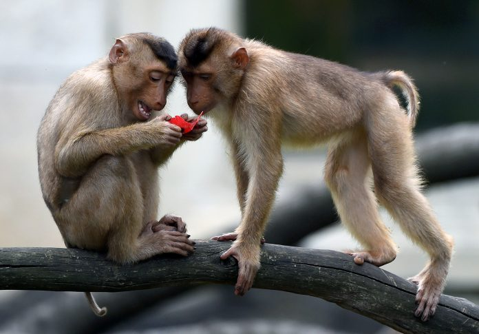 Monkeys steal coronavirus blood samples in India