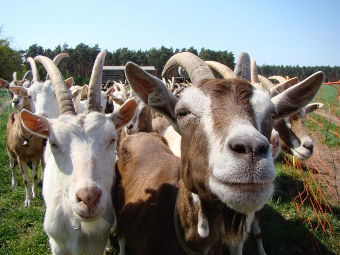 Police in Kastina repel bandits, recover stolen goats, motorcycles