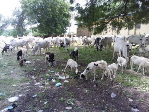 Soldiers recover 139 animals from kidnappers, rustlers in Bauchi